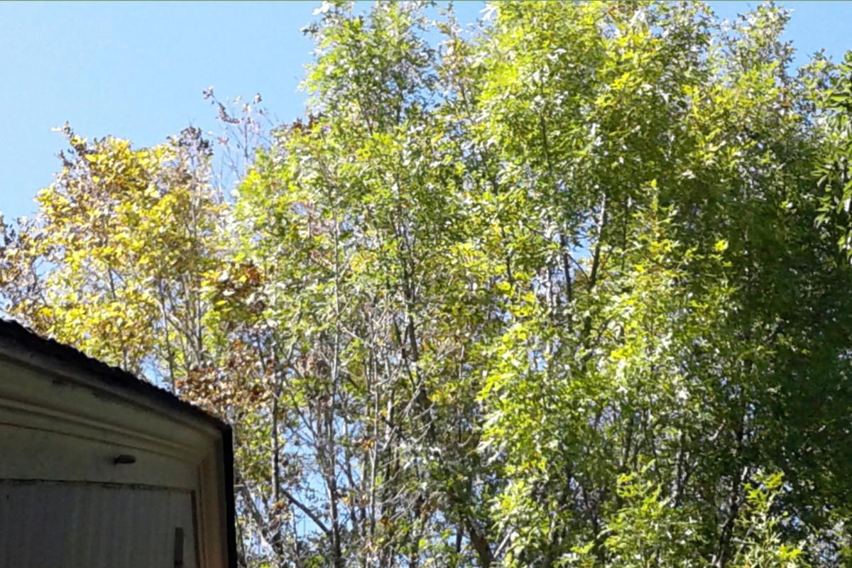 TEXAS GARDENING: Oak with iron deficiency