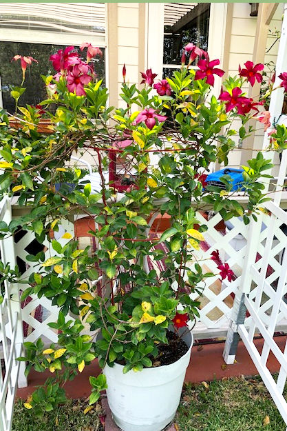 TEXAS GARDENING: Mandevilla plant