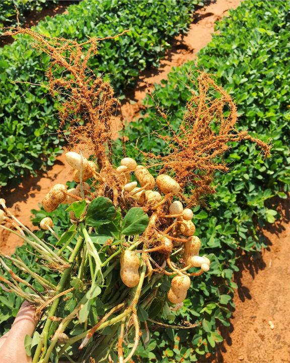 Texas peanut producers hit hard by midyear drought