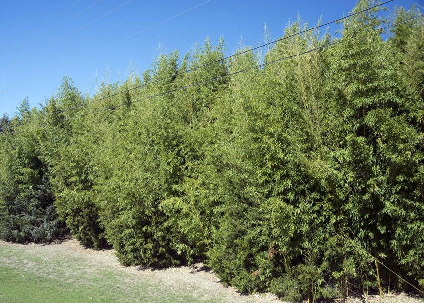 TEXAS GARDENING: Golden bamboo
