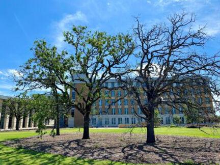 Oak trees damaged by winter storm