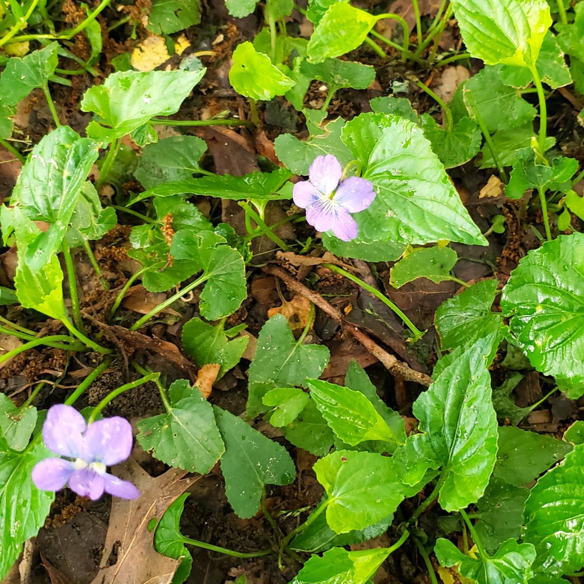TEXAS GARDENING: Wild violet