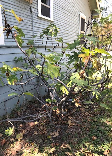 TEXAS GARDENING: Declining fig