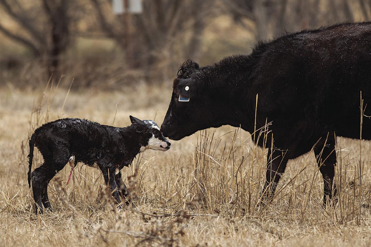 Consider the economics of spring vs. fall calving season