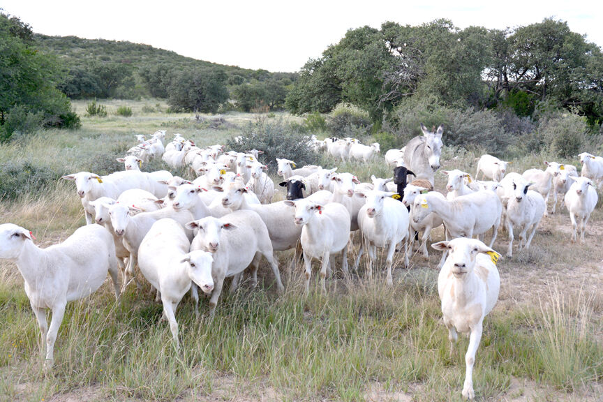 Texas lamb, goat meat markets thriving amid high demand