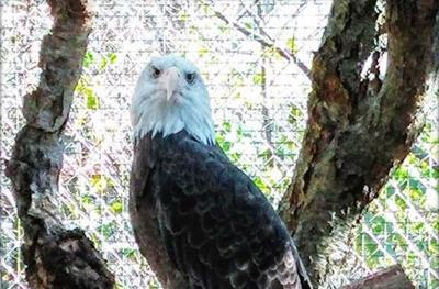 Bald eagle that survived a shooting is kidnapped from refuge