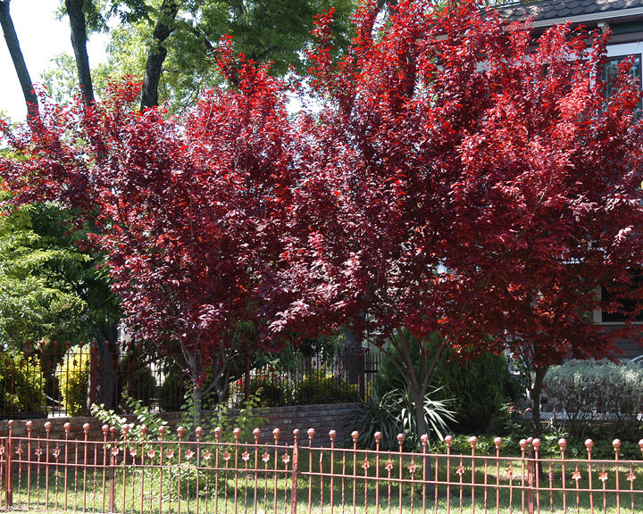 TEXAS GARDENING: The Short Lived Purple Plum Tree Might Not Be Prudent For  Your Personal Plantings