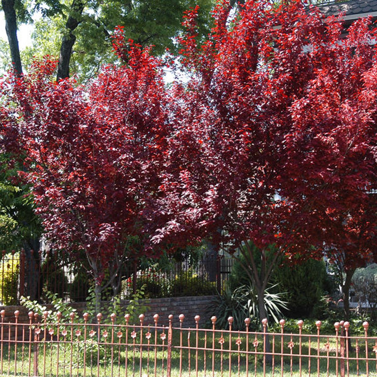 Texas Gardening The Short Lived Purple Plum Tree Might Not Be