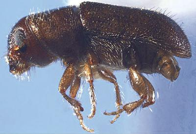 Funds available to thin forests to prevent southern pine beetle