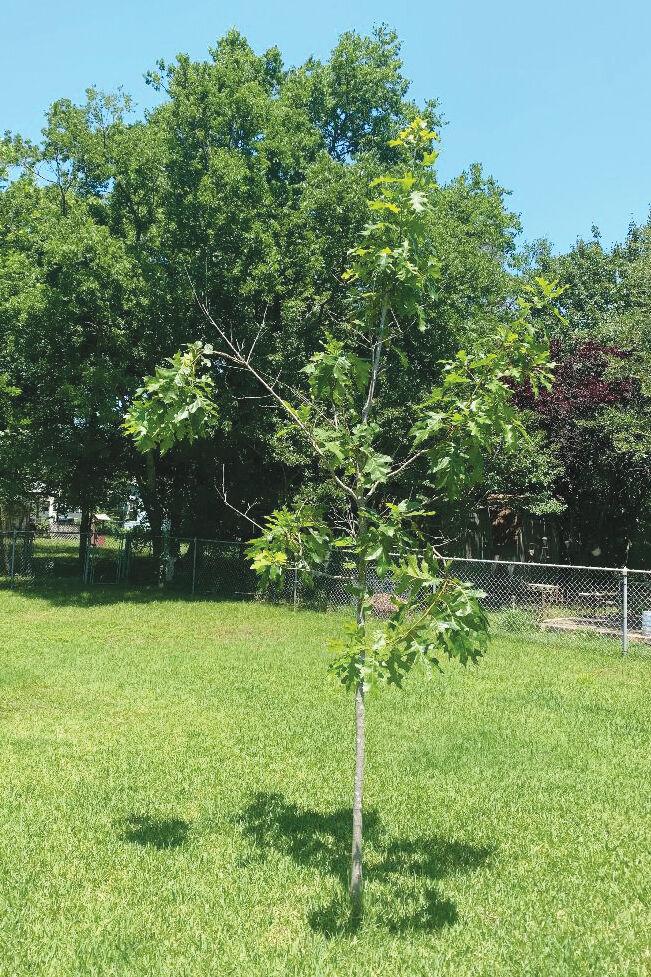 TEXAS GARDENING: Red oak needs trimming