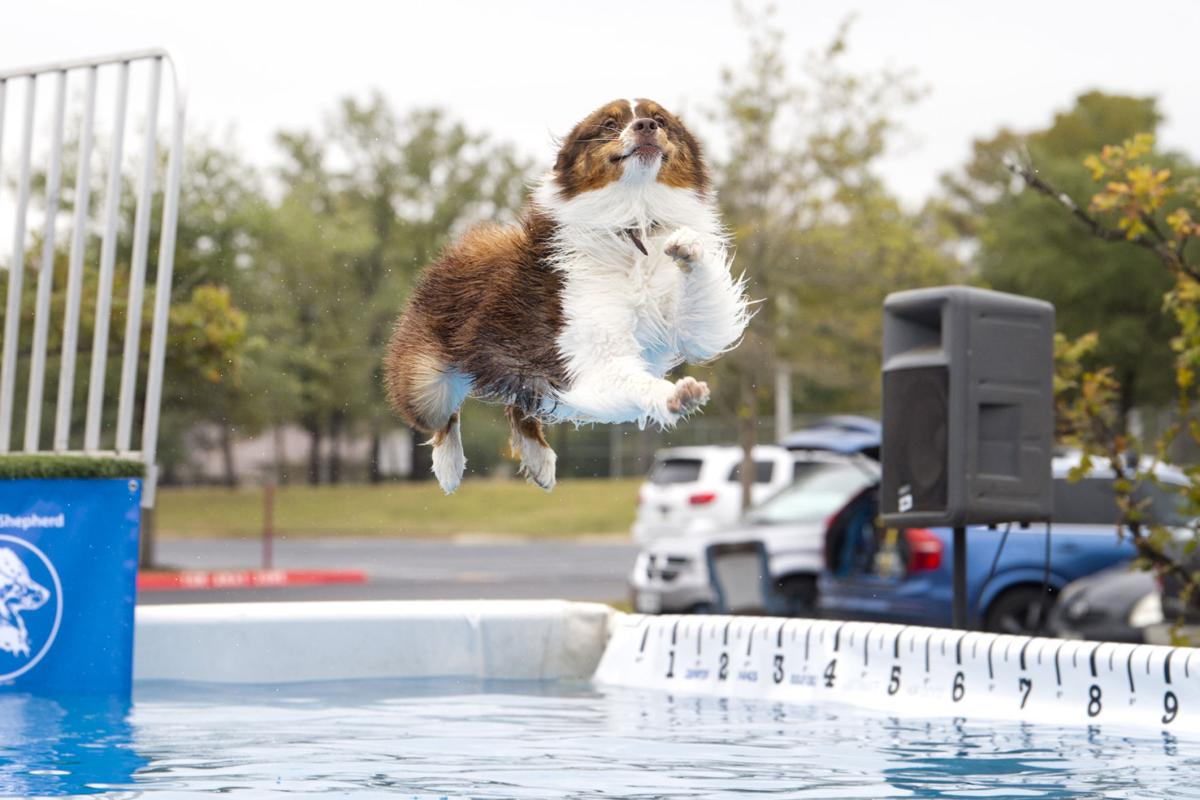 More than a thousand Australian shepherds from around the