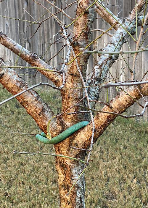 TEXAS GARDENING: Peach tree trunk