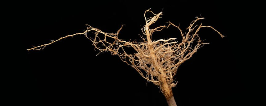 Root myths