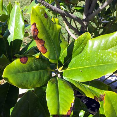 Late Bloomers Southern Magnolias Drop Their Leaves In Spring