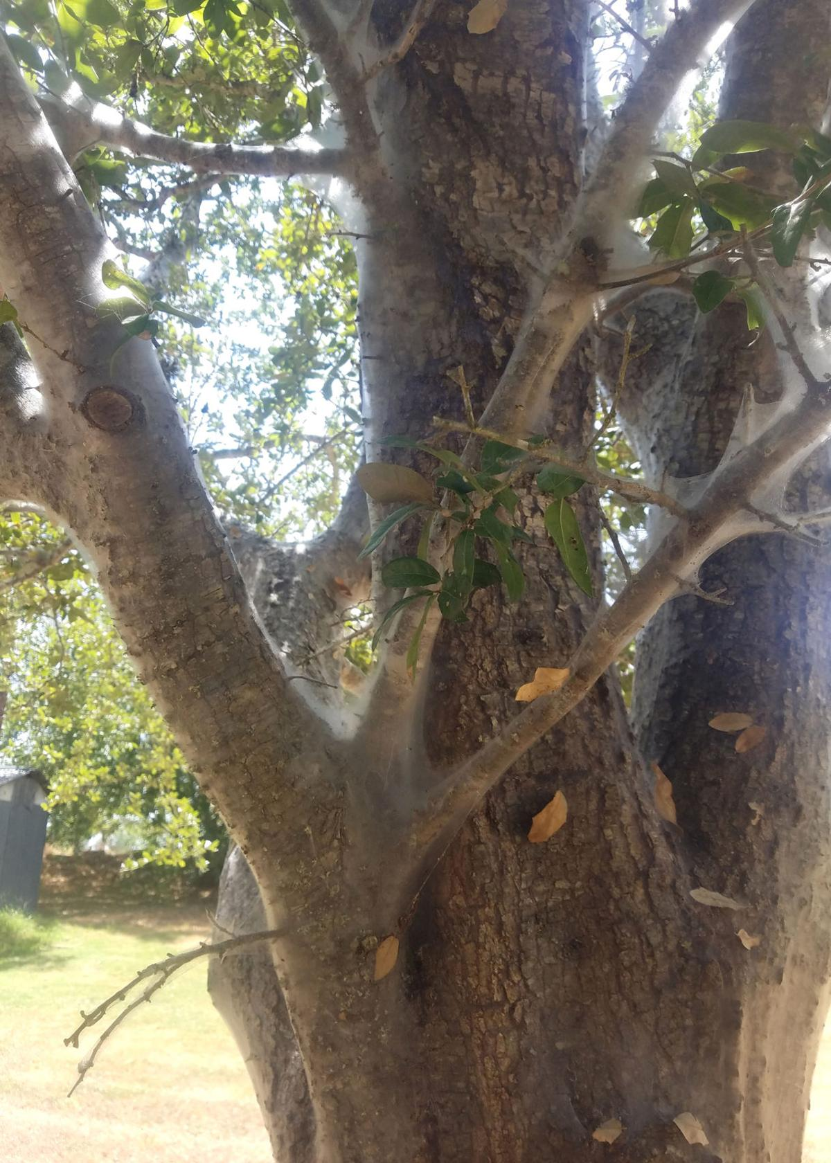 TEXAS GARDENING: Bark lice