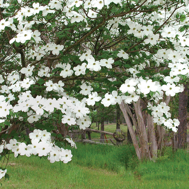 Texas Gardening An Unusual Spring Has Limited Dogwood Trees