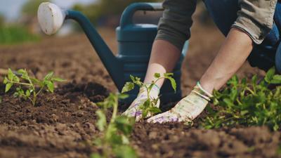 Farmer hands planting to soil tomato seedling