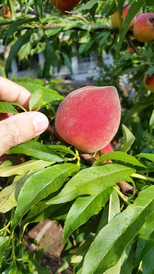 RICHTER peaches