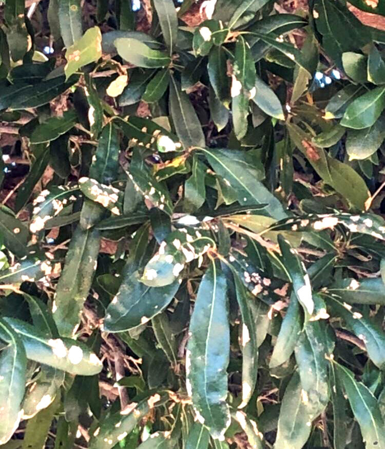 TEXAS GARDENING: Oak leaf blister