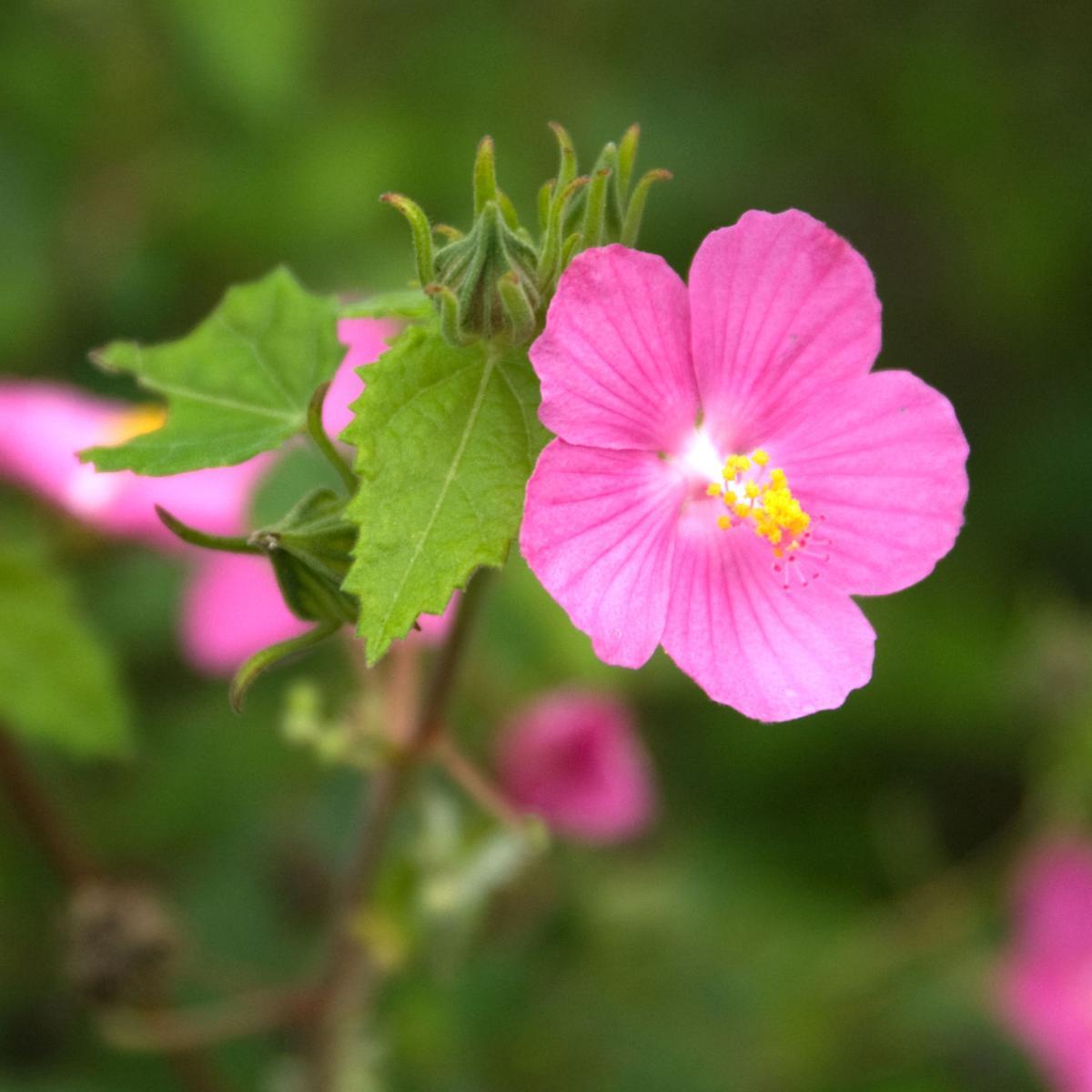Pavonia rock rose