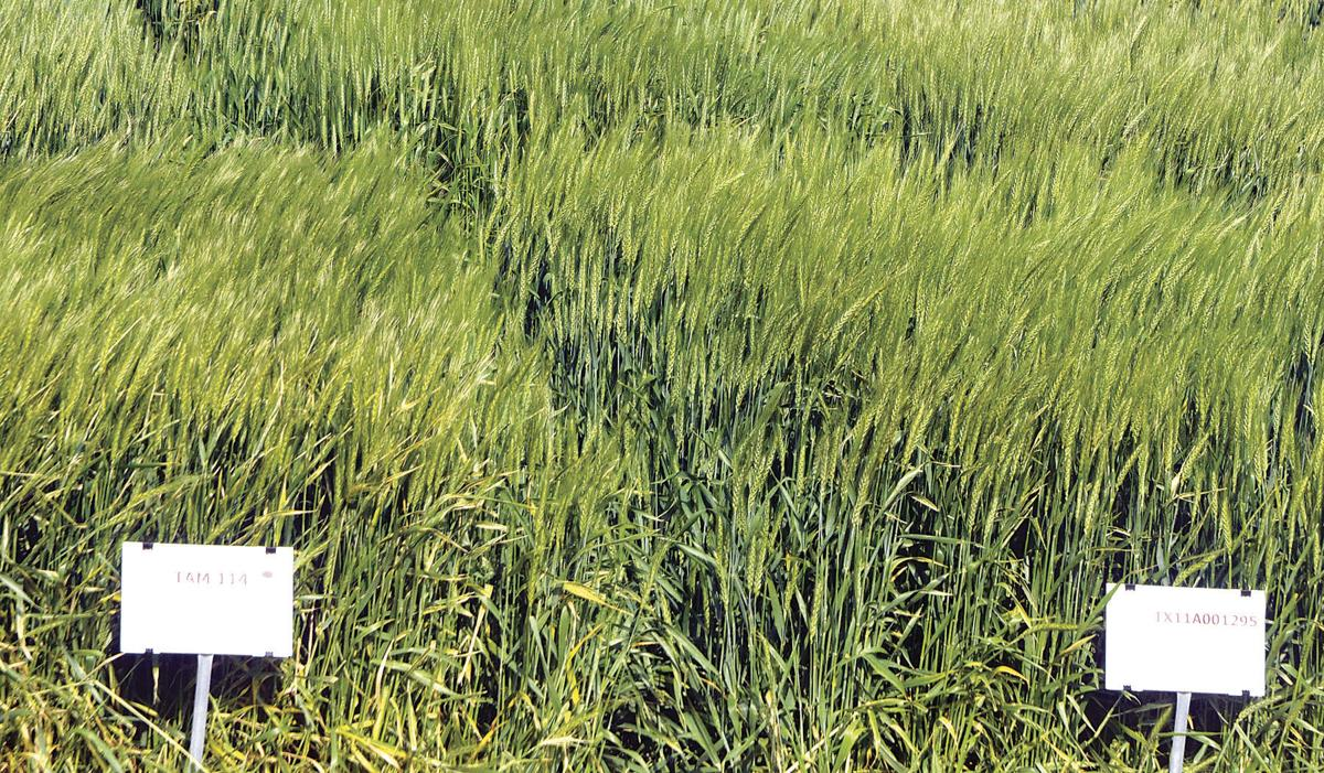 Two new wheat varieties announced by Texas A&M AgriLife, wheat program