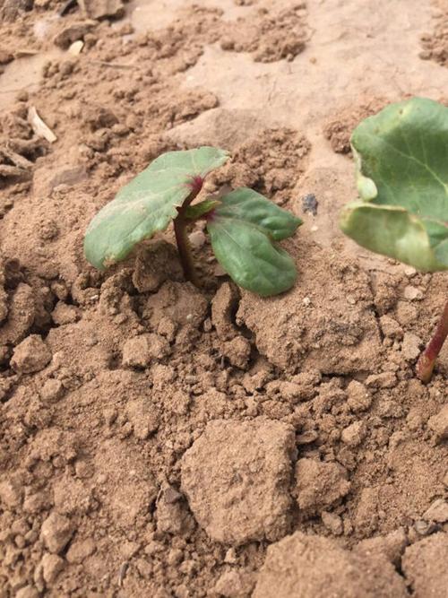 Cotton fertilizers