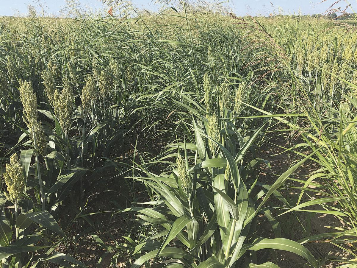Outcrossing between johnsongrass, sorghum studied