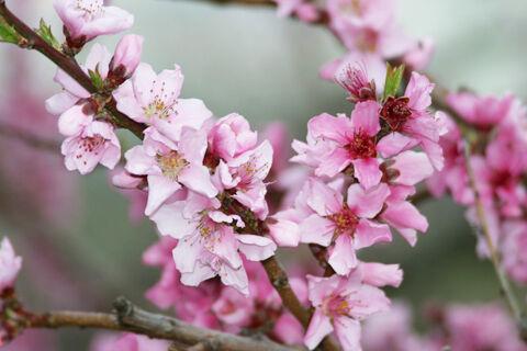 Peach blossom closeup