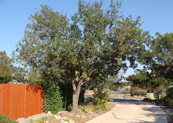 SPERRY: Monterry oak
