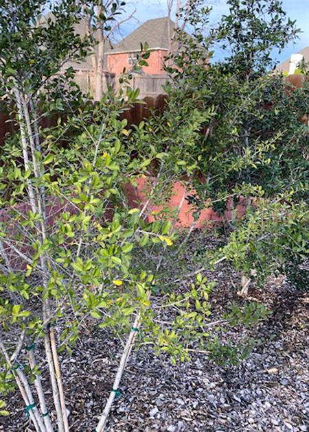 Texas Gardening Discolored Yaupon Holly Likely Just Needs