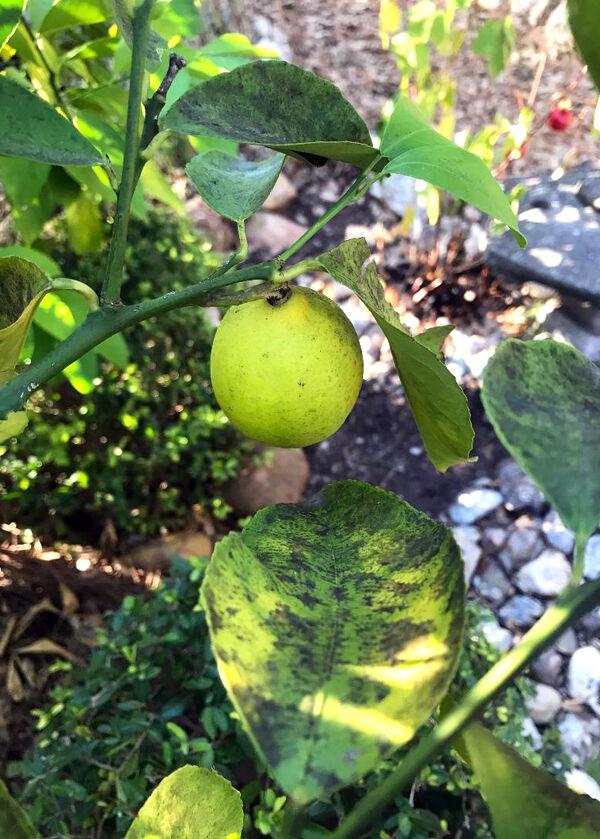 SPERRY Sooty mold Meyer lemon
