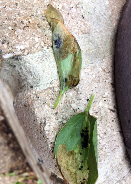 TEXAS GARDENING: Leafrollers within leaves