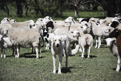 Livestock guardian dog field day scheduled Oct. 25 in Munday