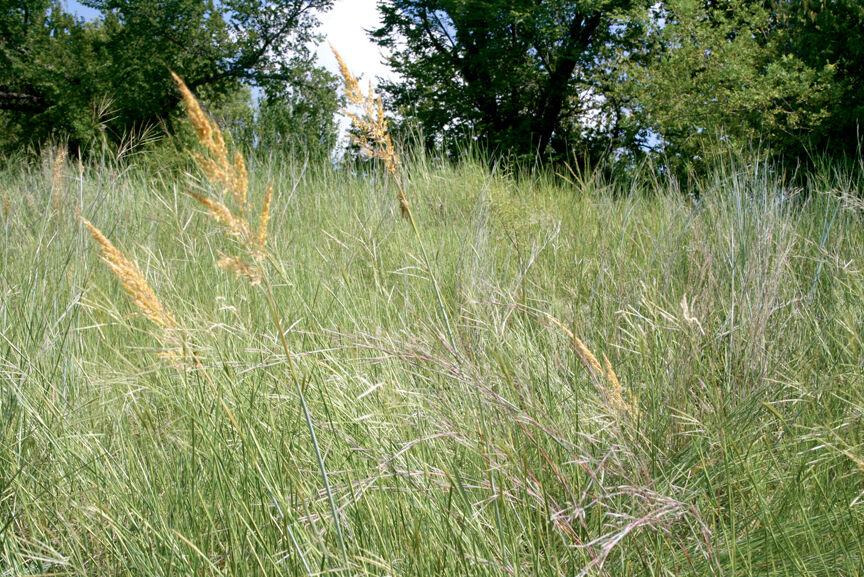 Texas native grasses
