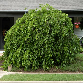 TEXAS GARDENING Weeping mulberry, Chapparal