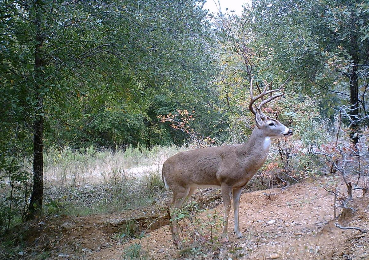 Mob hit: Grazing cattle to boost whitetail deer numbers