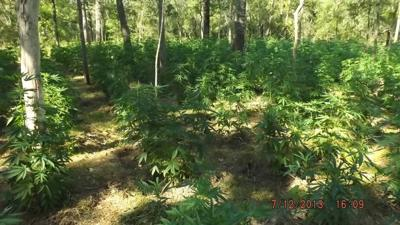 Authorities seeking growers after more than 18,000 marijuana plants found in woods