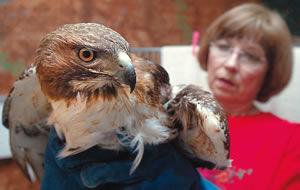Second hawk since Feb. 7 felled by gunfire in Brazos County
