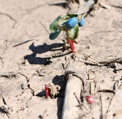 High Plains crops suffer after too much moisture at planting time