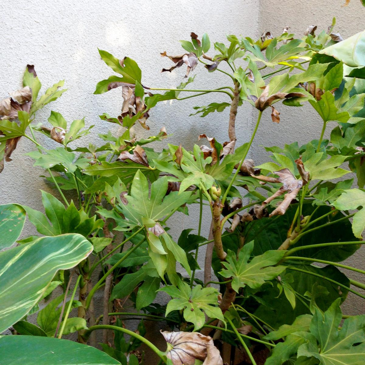 Cold weather could be killer of fatsia plants