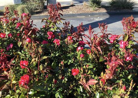 TEXAS GARDENING: Rose rosette virus typical vbull canes