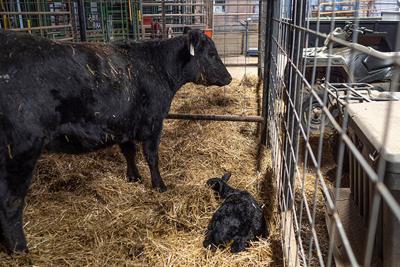 Backward-calf deliveries