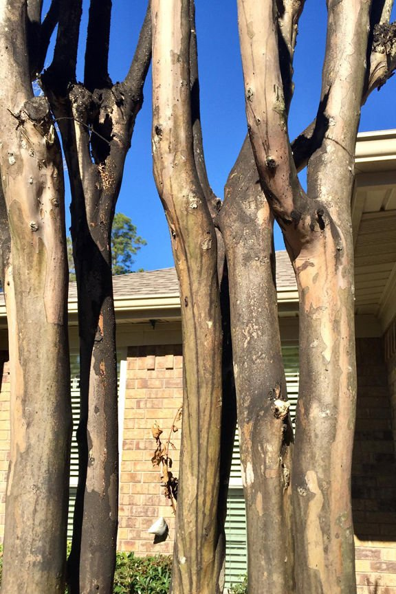 Sooty mold on crape myrtle trunk