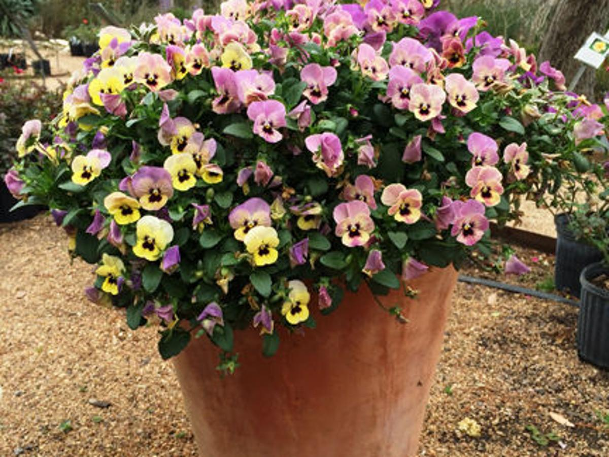 Plant Pansies For Perfect Pop Of Cool Weather Color Theeagle Com