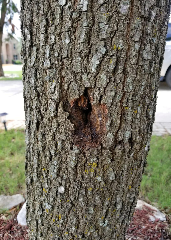 TEXAS GARDENING: Oak with hole in trunk