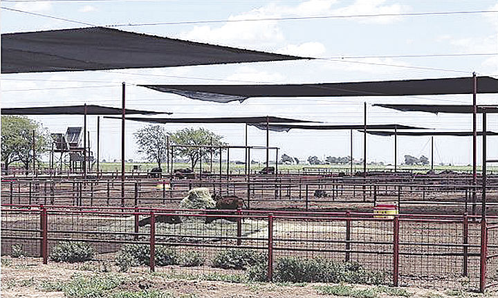 New shade system at Texas Tech Beef Center keeps cattle comfortable ...