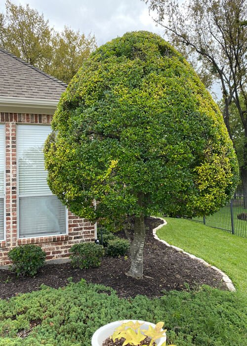 TEXAS GARDENING: Tightly trimmed yaupon holly