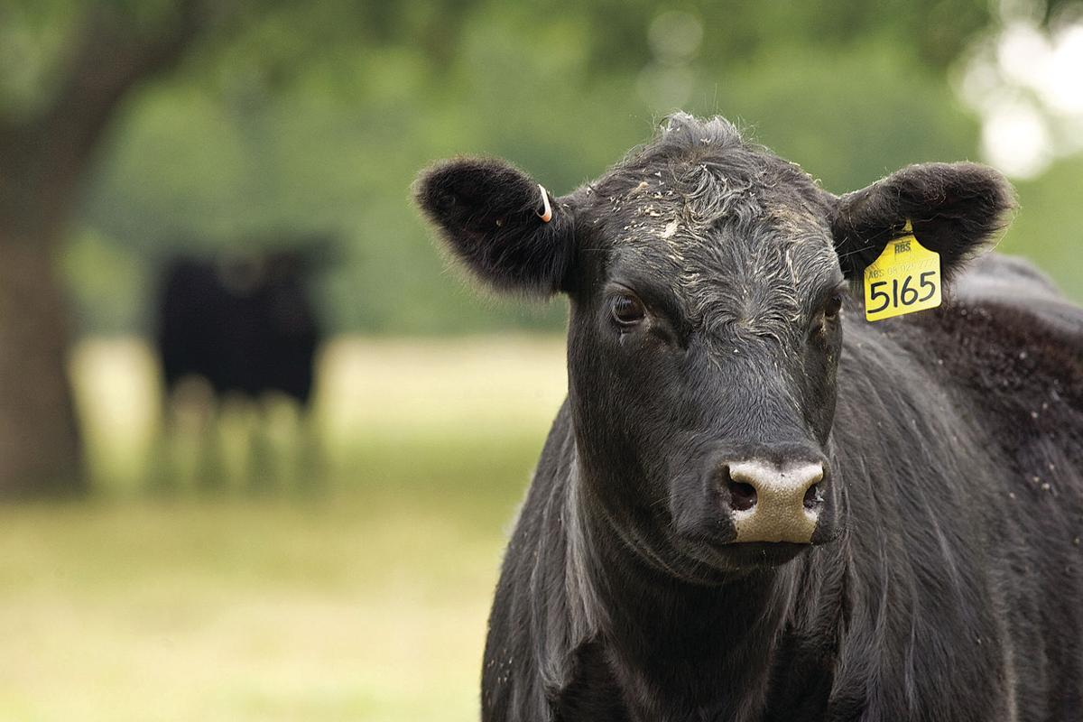 Top 5 essentials of heifer development you need to know