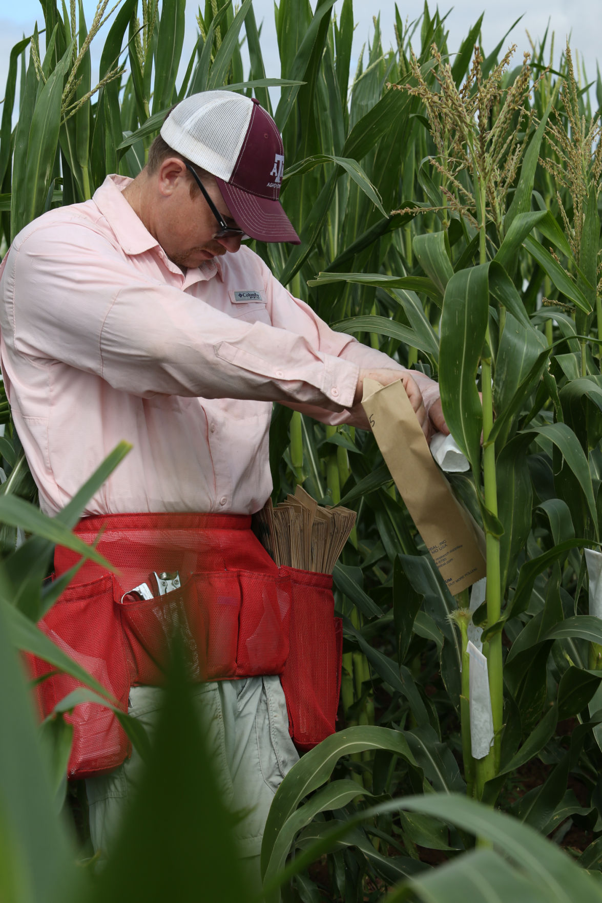 Texas A&M corn breeder looking to build a better-tasting bourbon