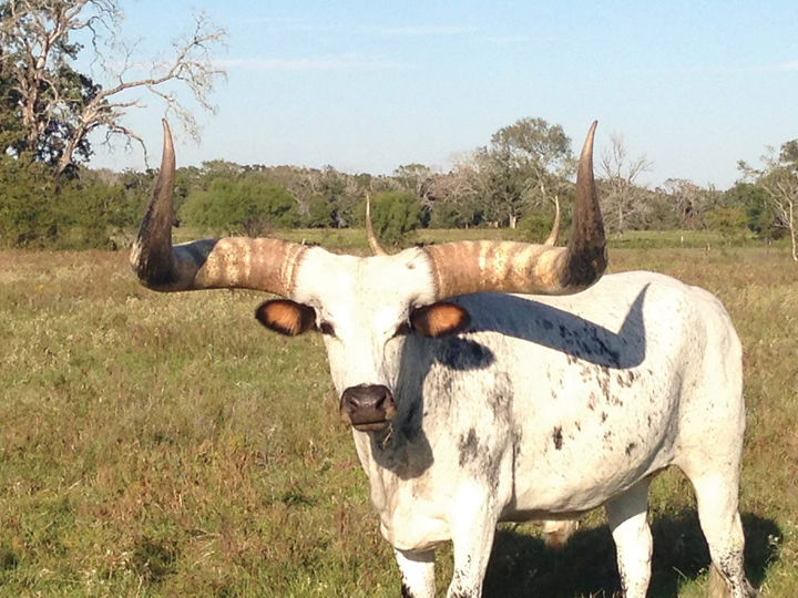 15k reward for locating thief of 200 pound steer horns local 15k reward for locating thief of 200 pound steer horns sciox Choice Image